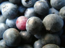 Blue Berries. Close up of blue berries Stock Photo