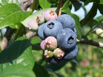 Blue berries. Ripening Blue berries stock photo