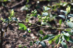 Blue Berries. Blue berry bush with green blue berries that haven`t ripened yet Stock Photography