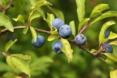 Blue berries on a branch. Bunch of blue berries on a branch Stock Photos
