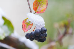 Blue berries on a branch of the covered with snow Royalty Free Stock Photography