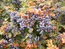 Blue berries. On a bush with green and yellow leaves Royalty Free Stock Photos