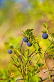 Blue berries in the forest Stock Photo