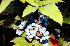 Blue berries.1. Blue berries in a frame of leaves Stock Images