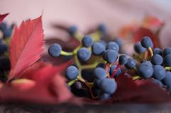 Blue berries grapes red leaves pink bokeh background. Texture macro color royalty free stock photo