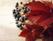 Blue berries grapes red leaves wood background macro close-up. Texture stock photography