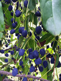 Blue berries in a green bush Stock Photo