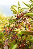 Blue berries hanging off red stems Royalty Free Stock Photography
