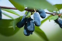 Blue Berries Of Honeysuckle Grow In Garden. Royalty Free Stock Image