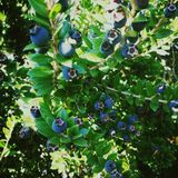 Blue berries in Italy, octobre 2018 stock photo