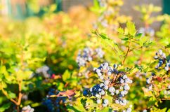 Blue berries Mahonia aquifolium Oregon-grape or Oregon grape and bush is a species of flowering plant in the family Berberidacea. Blue berries Mahonia aquifolium stock photography