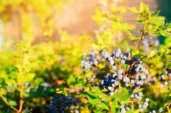 Blue berries Mahonia aquifolium Oregon-grape or Oregon grape and bush is a species of flowering plant in the family Berberidacea. E, native to western North stock photography