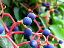Blue Berries. Nice blue berries on bush Royalty Free Stock Photography