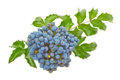 Blue berries of Oregon grape Stock Photos