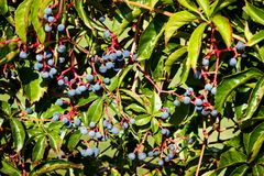 Blue berries plant on wall Stock Image