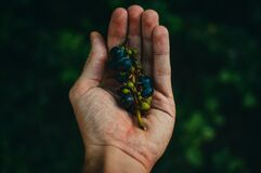Blue Berries on Sprig Cupped in Human Hand Stock Image