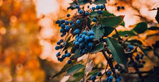 Blue berries on warm bokeh background royalty free stock photography