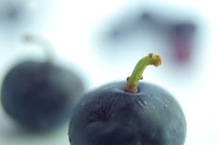 A blue berry Stock Photography