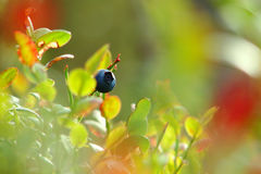 Blue berry on branch in the garden. With leaves Stock Images