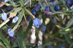 Blue berry. In the midst of spring green foliage Stock Images