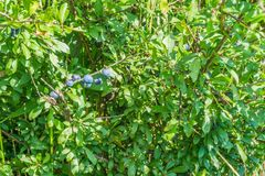 Blue berry plant in close up. Picture of a blue berry plant in close up stock photos