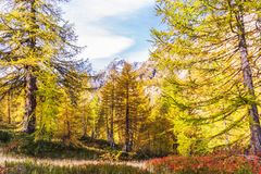 Alpe devero autumnal mountain landscape. Blue berry shrubbery in the foreground with larches trees and the Alps mountain range in the background inside Alpe royalty free stock photos