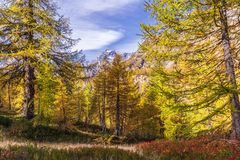 Alpe devero autumnal mountain landscape. Blue berry shrubbery in the foreground with larches trees and the Alps mountain range in the background inside Alpe stock photo