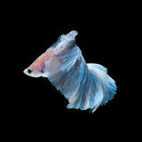 Blue betta fish  on black background Stock Image