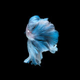 Blue betta fish  on black background Stock Photography
