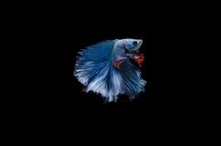Blue betta fish on Black background Stock Photos