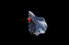 Blue betta fish on Black background Royalty Free Stock Images