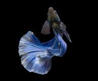 Blue betta fish on Black background Royalty Free Stock Photos