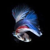 Blue betta fish Royalty Free Stock Photos