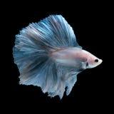 Blue betta fish Royalty Free Stock Photography