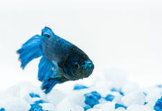 Blue betta fish. Fighter fish. Blue betta fish, fighter fish, in aquarium with blue and white stones Royalty Free Stock Photography
