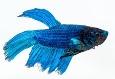 Blue betta fish. Fighter fish. Blue betta fish, fighter fish, in white background Stock Photography