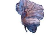 Blue betta fish i Stock Image