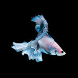 Blue betta fish isolated on black background Royalty Free Stock Images