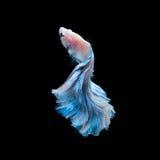 Blue betta fish isolated on black background Royalty Free Stock Photo