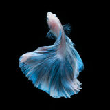 Blue betta fish isolated on black background Stock Images
