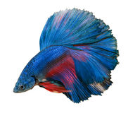 Blue betta fish isolated on white background. stock photos