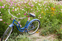 Blue Bicycle Flowers Garden. An old blue bicycle parked in garden with pink cosmos, blackeyed susans flowers and tomato plants with ripening tomatoes Royalty Free Stock Photography