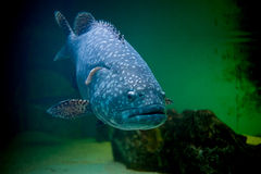 Blue big fish Royalty Free Stock Photos