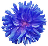 Blue big flower , pink center on a white  background isolated  with clipping path. Closeup. big shaggy  flower. for design. Stock Photography