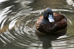 Blue billed duck Stock Photos