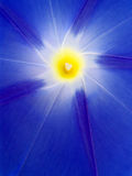 Luminous Ipomoea. Close up of Ipomoea tricolor stock images
