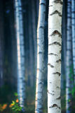 Blue birch forest Royalty Free Stock Photos