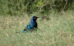 Blue bird. Tree Bird: Little Cape Glossy Starling - Kleinglansspreeu - Lamprotornis nitens watching other birds in a game park in South Africa Royalty Free Stock Photography