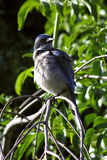 Blue Bird. On small branch stock images