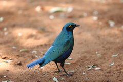 Blue bird. Exotic blue bird royalty free stock photography